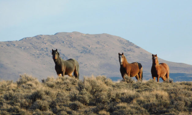 BLM to Conduct Wild Horse Gather in Eastern Nevada